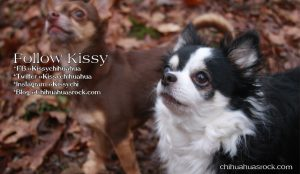 Picture of the Day! Meet Kissy Chihuahua