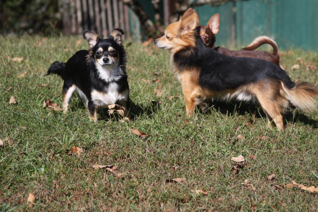 Chip and Scruffy Long Hair Chihuahua's
