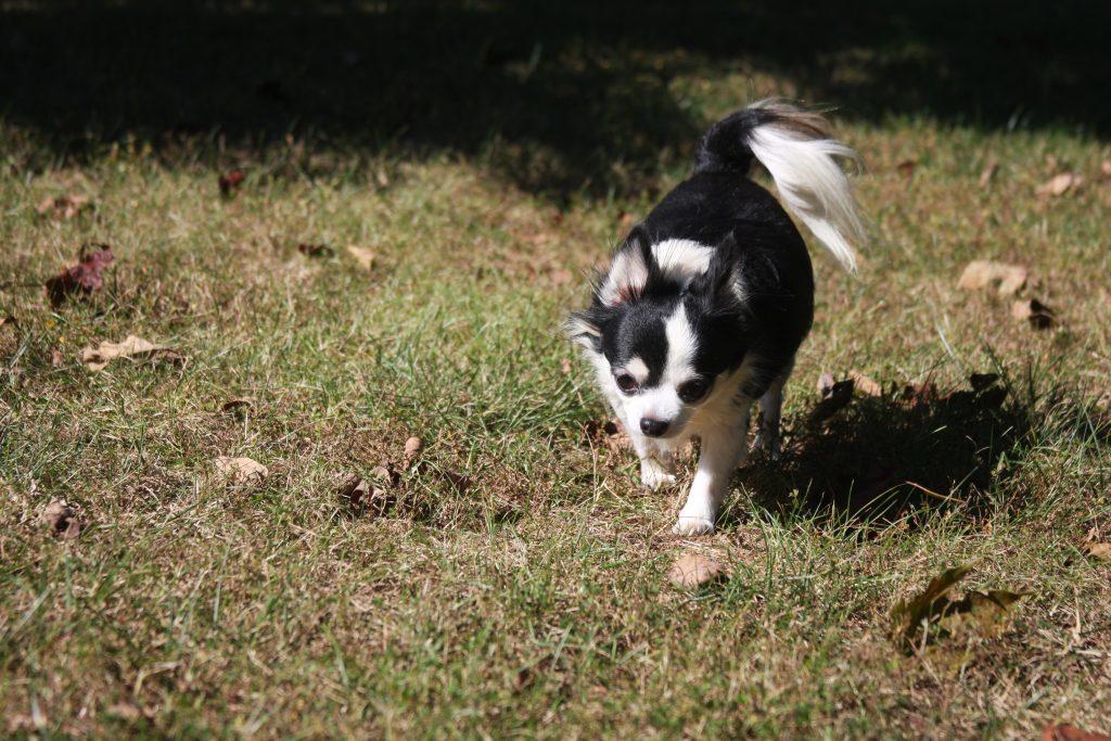 Kissy Chihuahua