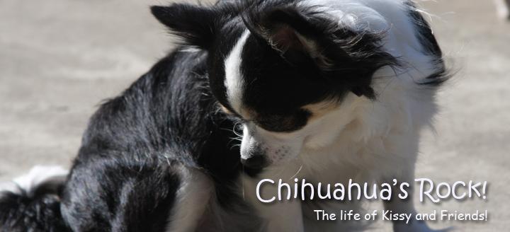 Chihuahuas rock